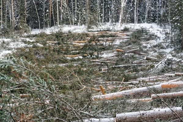 Так сейчас выглядит лес