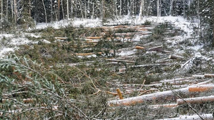 Эфир UFA1.RU: поговорим о вырубке леса на Инзерских Зубчатках
