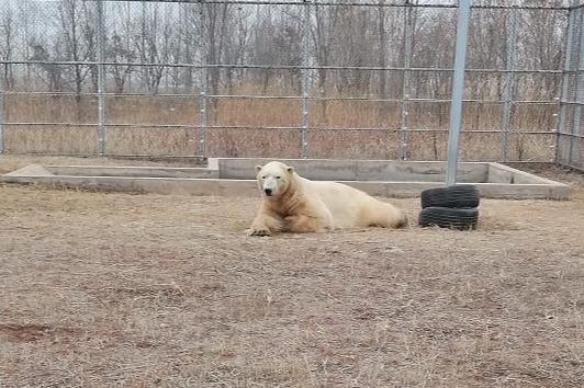 Новосибирский зоопарк показал фото белого медведя Ростика из Китая — ему уже 5лет