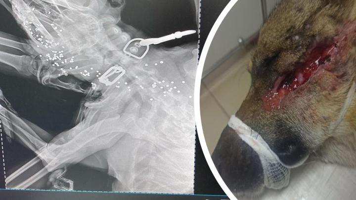 В Новороссийске расстреляли собаку дробью и избили, возбудили уголовное дело