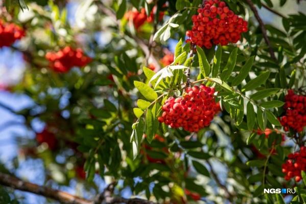 Красная рябина считается малоценным деревом, хотя из ягод можно сделать много вкусных заготовок!