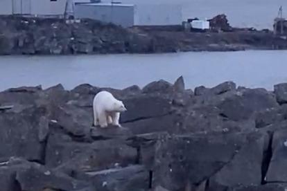 «Лежит, скучает без мамы»: в Диксоне белый медвежонок три дня сидит на камнях у нефтебазы