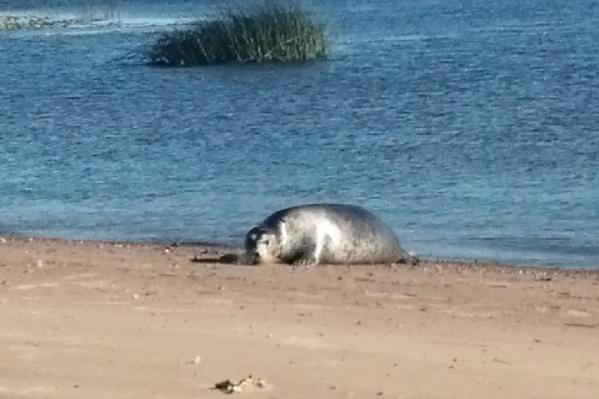 Встретить тюленя в деревне Красное для местных — привычное дело