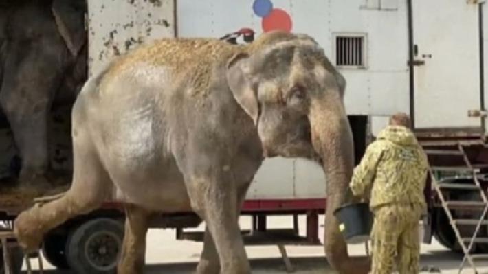 Слонов Дженни и Магду, живших в Перми во время самоизоляции, перевезли в крымский сафари-парк «Тайган»
