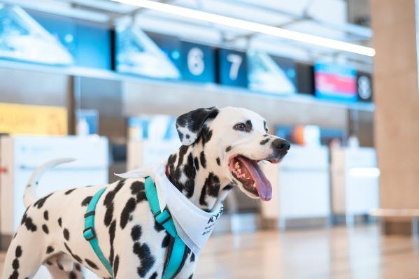Собаки появятся в зале ожидания аэропорта в сопровождении сотрудников приюта