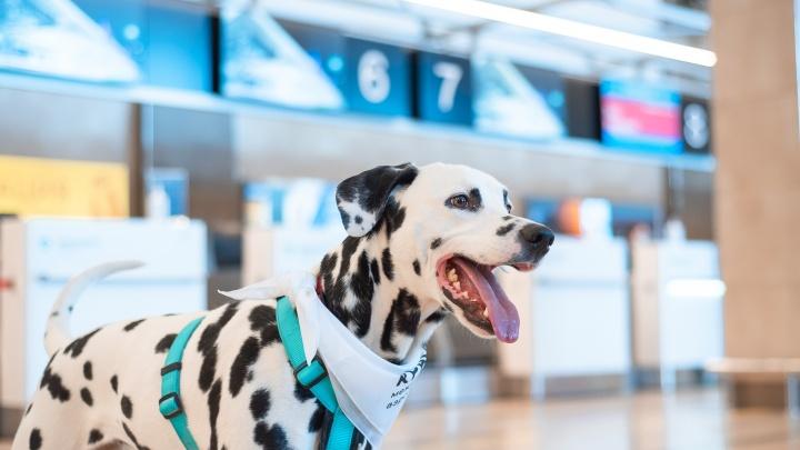 Пушистое успокоительное: в аэропорту Красноярска боящихся перелетов пассажиров начали утешать собаки