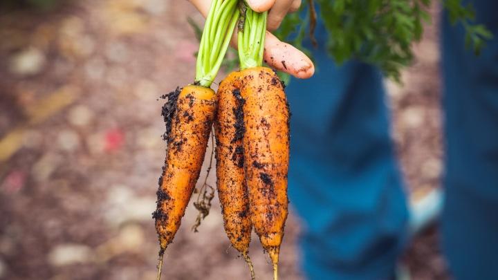 «Вместо декоративных культур люди выращивают овощи»: как морковь по 130 рублей сказалась на спросе садоводов