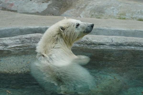 Юная медведица в бассейне московского зоопарка