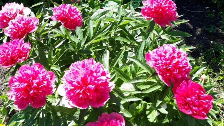 Что делать с цветами в августе: пошаговая инструкция, как обрезать, выкопать и пересадить пионы