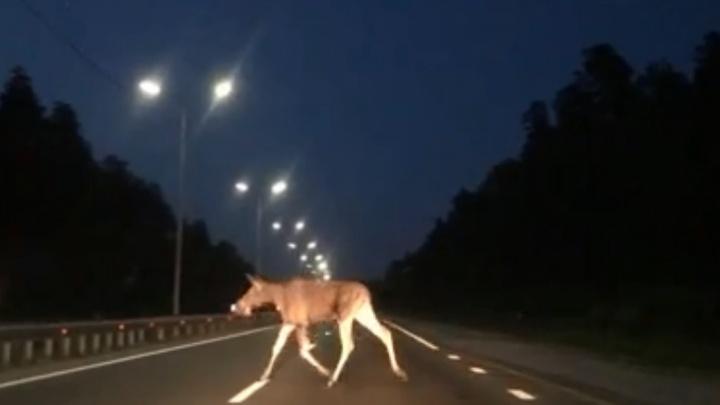«Метался по трассе из стороны в сторону»: в Екатеринбурге у «Меги» молодой лось попал на видео