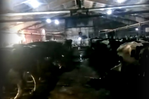 Коровы живут в ужасных условиях