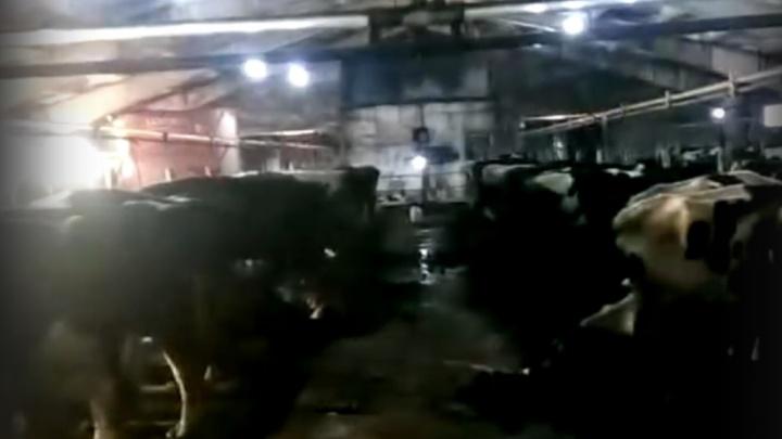 «Коров стараются зарезать, пока не умерли сами»: сотрудник фермы в Лесном — об издевательствах над животными