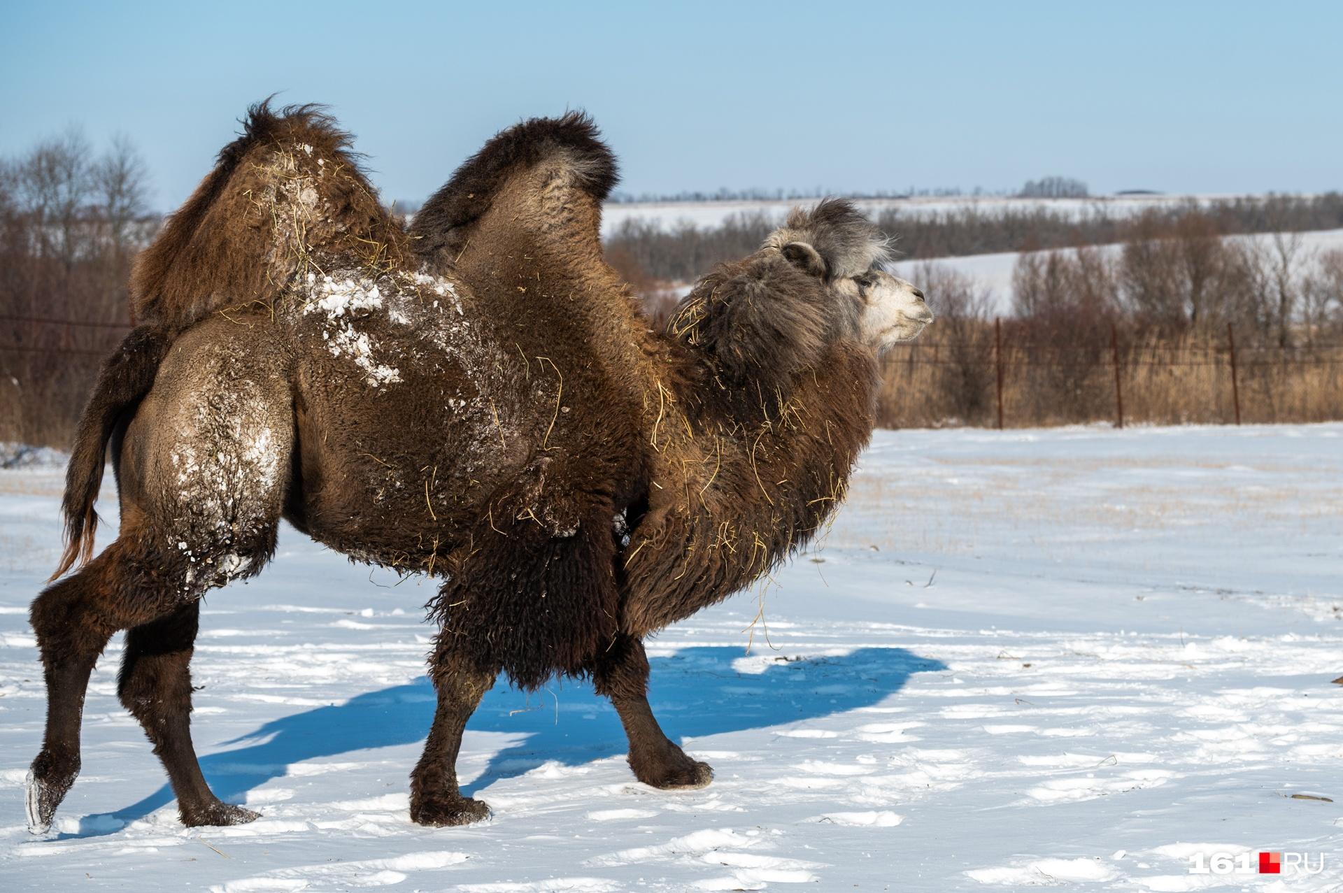 Верблюды к нашей делегации отнеслись с большим интересом