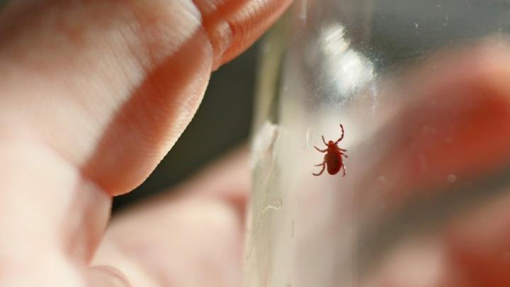 Треть проверенных клещей в крае заражены носителями болезни Лайма. Что это и чем грозит?