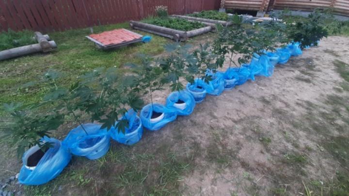 У жителя Архангельска на даче нашли сараи с 41 кустом конопли
