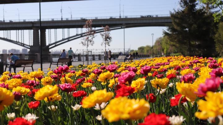 На Михайловской набережной зацвели 60 тысяч тюльпанов
