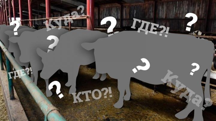 Вслед за бруцеллезными коровами из Тюменской области исчезли материалы проверки об их пропаже
