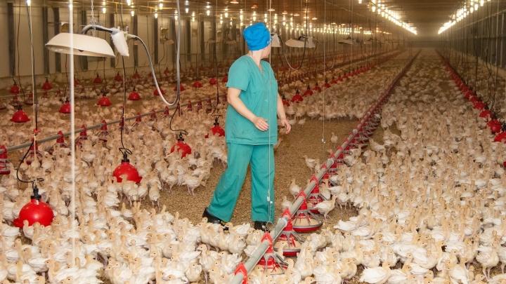Птичий грипп нашли в Ростовской области на ферме крупнейшего в РФ производителя индейки