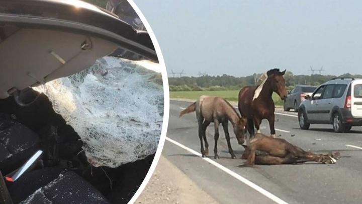 На трассе под Тобольском водитель сбил лошадь. Конь и жеребенок стоят рядом и не отходят от нее
