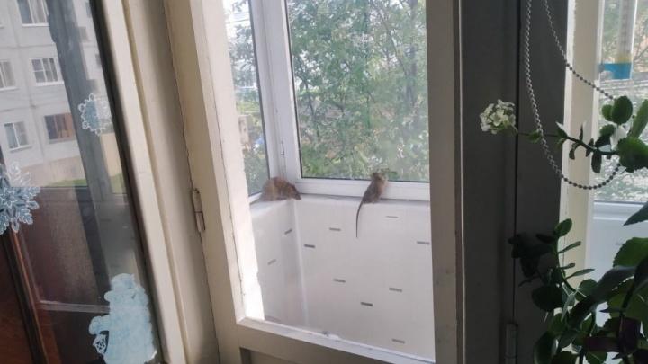 Крысы «прилетели»: в Архангельске грызуны залезают в дома по деревьям