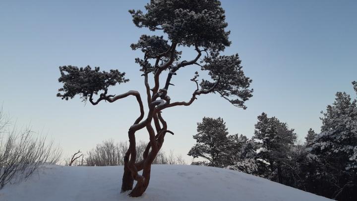 «Чего хотят-то, смутьяны»: эколог объяснил, почему северяне борются против вырубки сосен на Яграх
