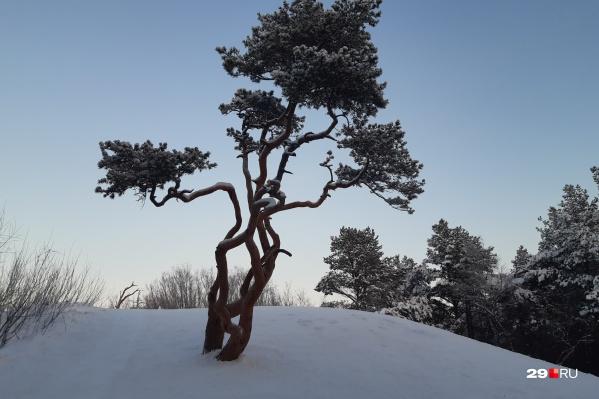 Ягринские сосны — один из символов Северодвинска