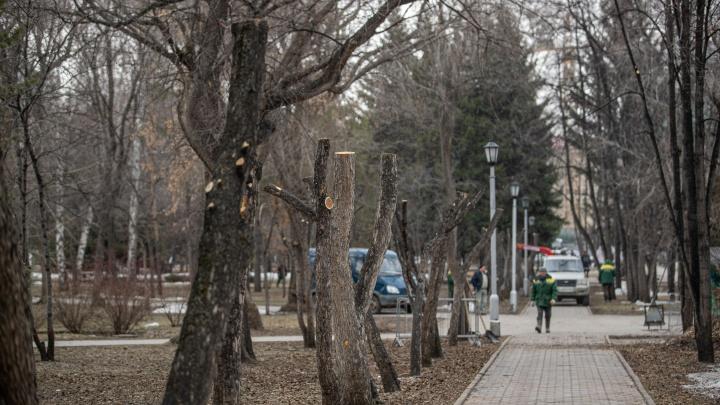 В Первомайском сквере обкорнали деревья — выглядит странно, но власти объясняют это научной работой