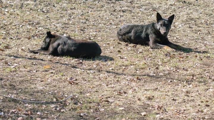 Отловом бездомных собак в Самаре вновь займется компания бывшего торговца мясом