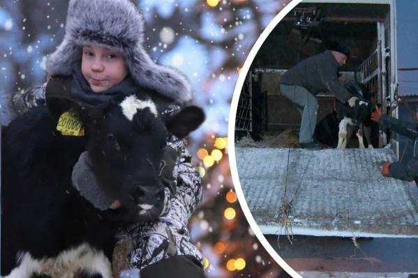 Сейчас у Саши трое бычков: Бася, Бублик и малыш Бизон (на фото), который стал для юного фермера самым невероятным новогодним подарком