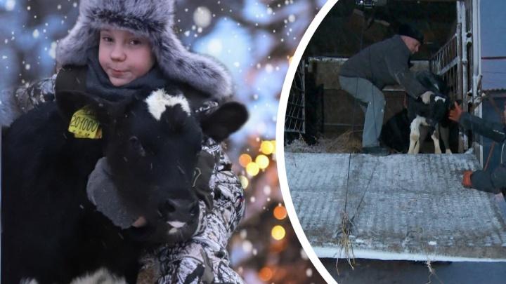 Новогоднее чудо: 12-летнему фермеру Саше из Голышманово подарили маленького бычка