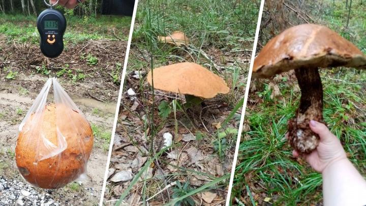 Тюменцы находят огромные грибы в местных лесах (некоторые переростки весят больше килограмма!)