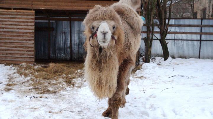 Знаменитый тюменский верблюд Кеша умер в питомнике под Санкт-Петербургом