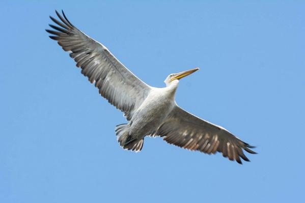 Кучерявый пеликан занесен в Красную книгу России