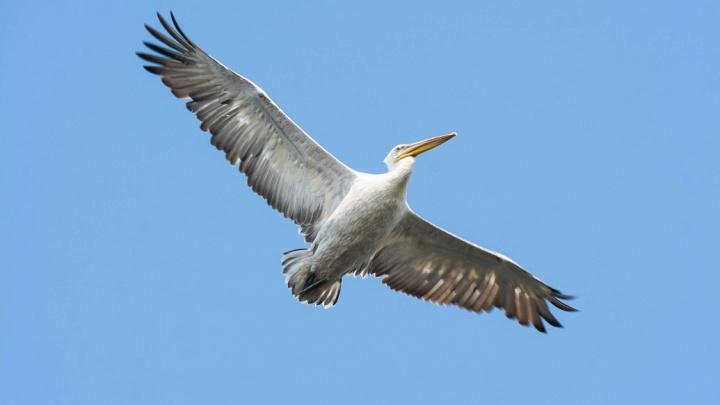 Из-за смерти краснокнижных пеликанов в Тюменской области ввели карантин по птичьему гриппу