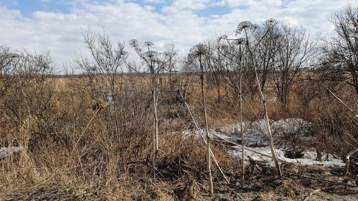 Власти поняли, что всё серьезно: в Ярославской области начнут выделять деньги на борьбу с борщевиком
