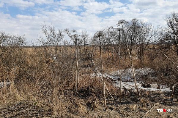 Ситуация с разрастанием ядовитого сорняка вышла из-под контроля