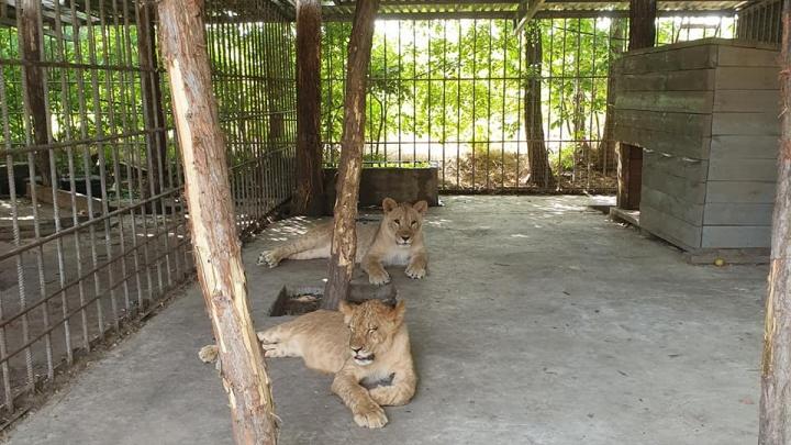 Лев напал на ребенка на базе отдыха в Краснодарском крае