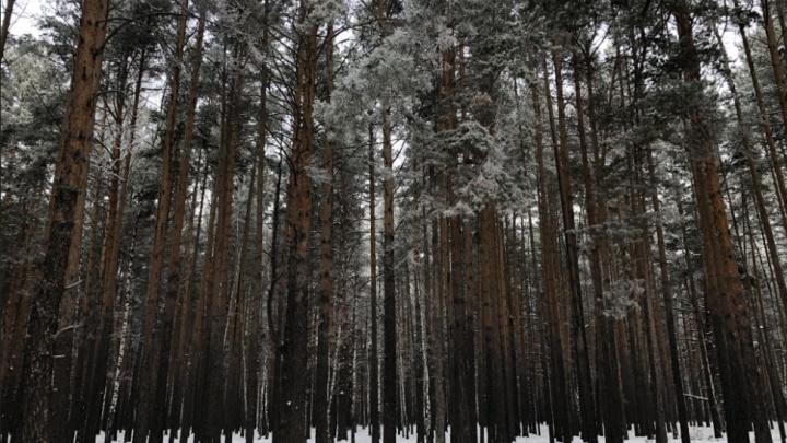 Наркозакладчики портят деревья в Гагаринском парке Тюмени — на них пожаловались эковолонтеры