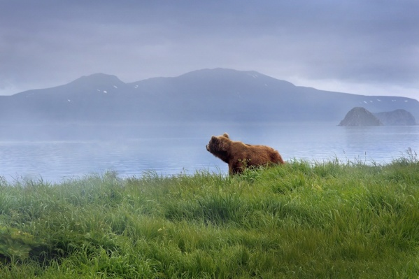 Чаще всего камчатских медведей можно встретить у Курильского озера