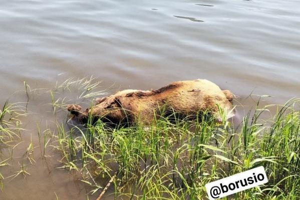 Из воды труп животного уже достали