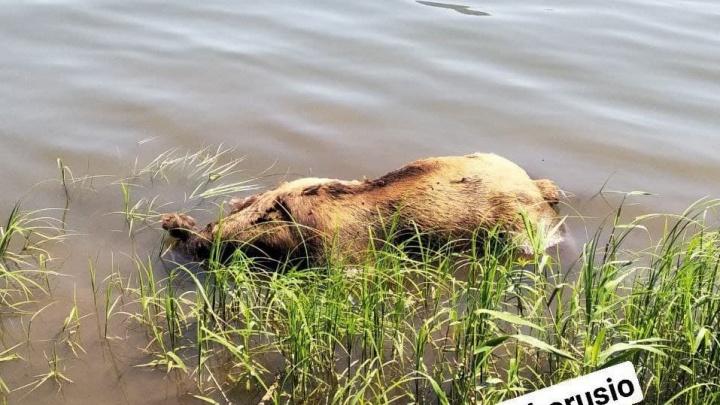 На берег Маны к отдыхающим прибило тушу медведя
