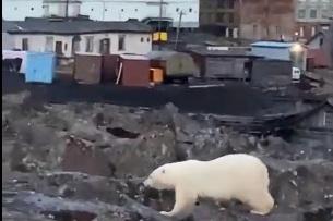 Медвежонок подошел вплотную к жилому сектору