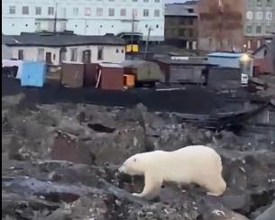 «Потрясен недавним трагическим событием»: к спасению белого медвежонка в Диксоне подключают федералов