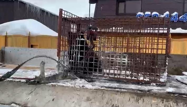 Медведица в ХМАО вернулась в родной вольер, публикуем видео