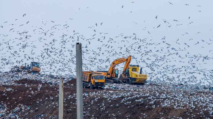 «Птицы нашли доступный источник корма». Орнитолог объяснил, откуда в Ростове взялись стаи чаек