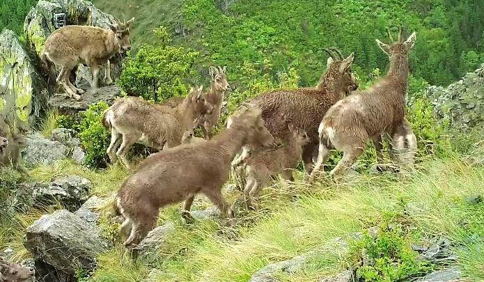 Фотоловушки в Саяно-Шушенском заповеднике сняли, как беркут охотится на козленка
