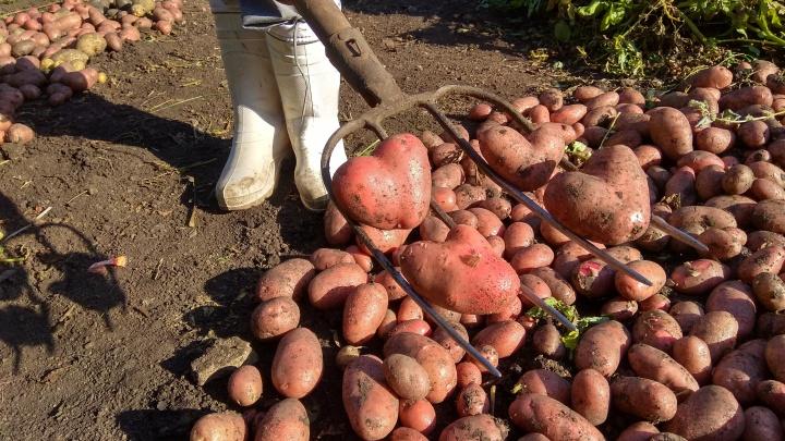 Морковь дороже огурцов: уральцы обалдели от роста цен на овощи