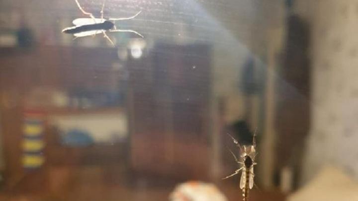 «Они раза в три больше обычных»: жители ВИЗа пожаловались на гигантских комаров