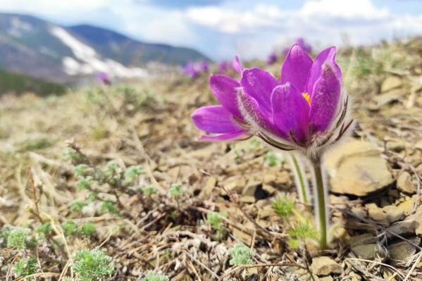 На солнечных склонах под Красноярском активно зацветают первые растения
