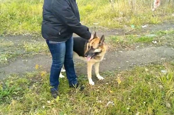 Собаку выгуливали без намордника и поводка